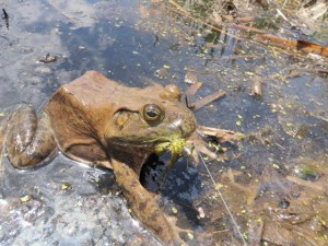 Bullfrog on a Meatwhistle