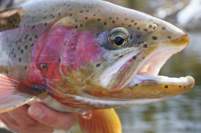 how to fix trout mouth
